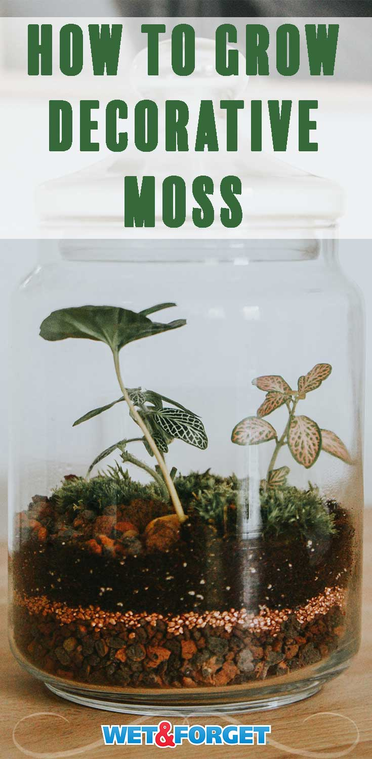 Learn how to grow decorative moss with this handy guide!