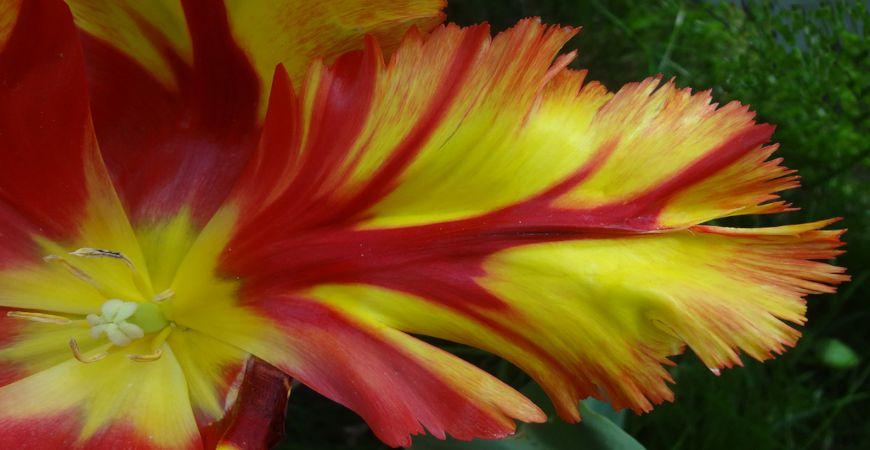 parrot tulip 2_r