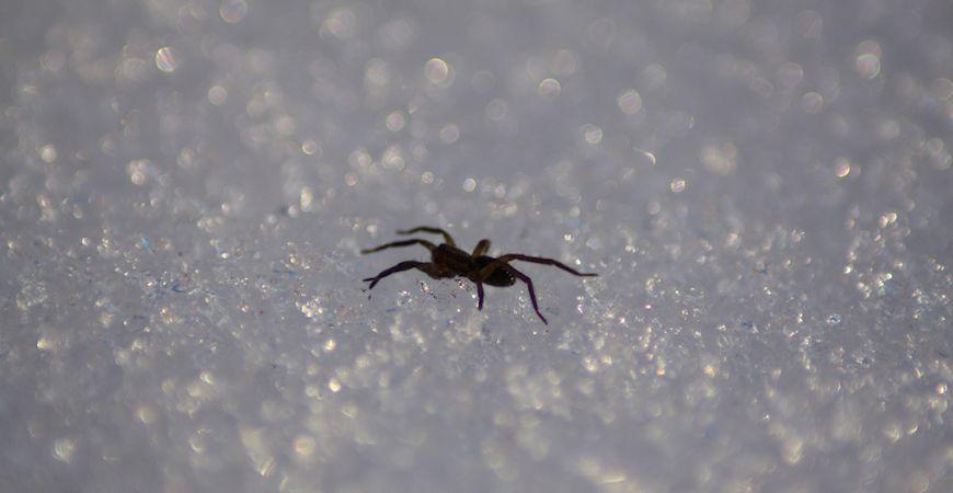 spider ice_c_r