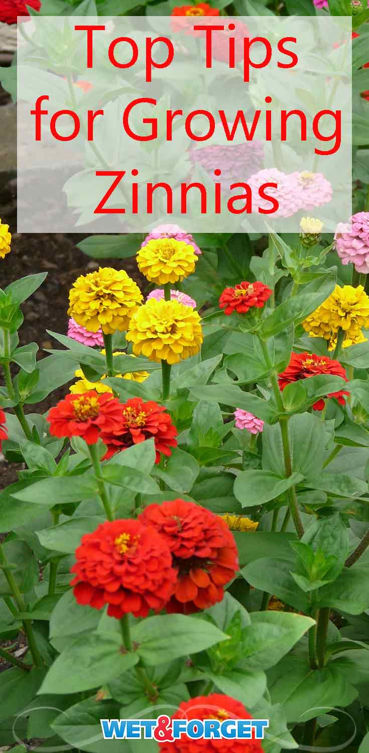Add beautiful colors to your garden with zinnias! Learn about the different types of zinnias and how to grow them!