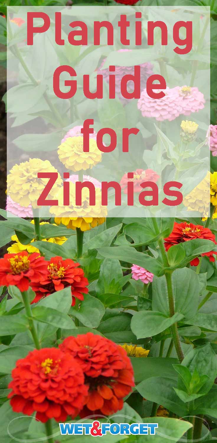 Add a rainbow to your garden by planting zinnias! Read up on these quick zinnia planting tips and enjoy your colorful garden.