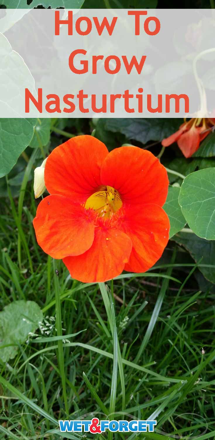 Discover how to grow nasturtium and why it's one of our favorite low-maintenance flowers!
