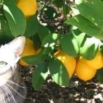 Grow Citrus Indoors for Fresh, Beautiful, Delicious Décor!