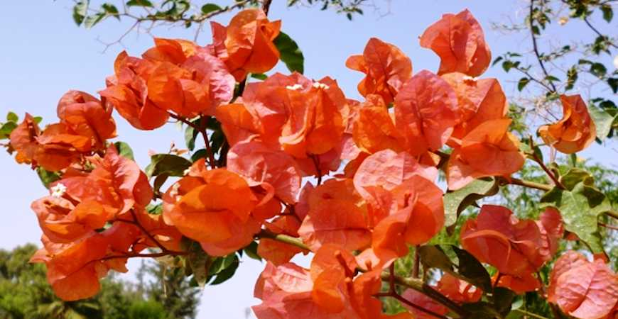 how to grow bougainvillea