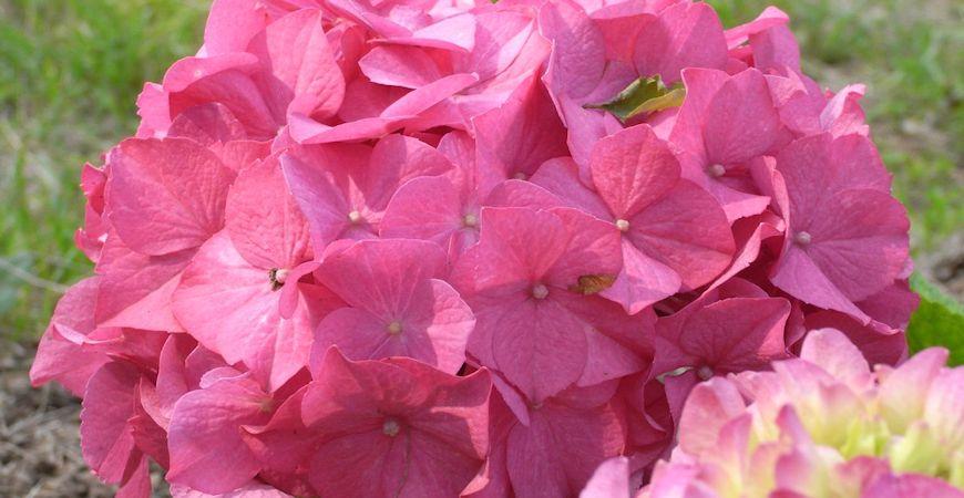 different hydrangea varieties