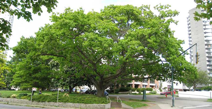 best shade trees