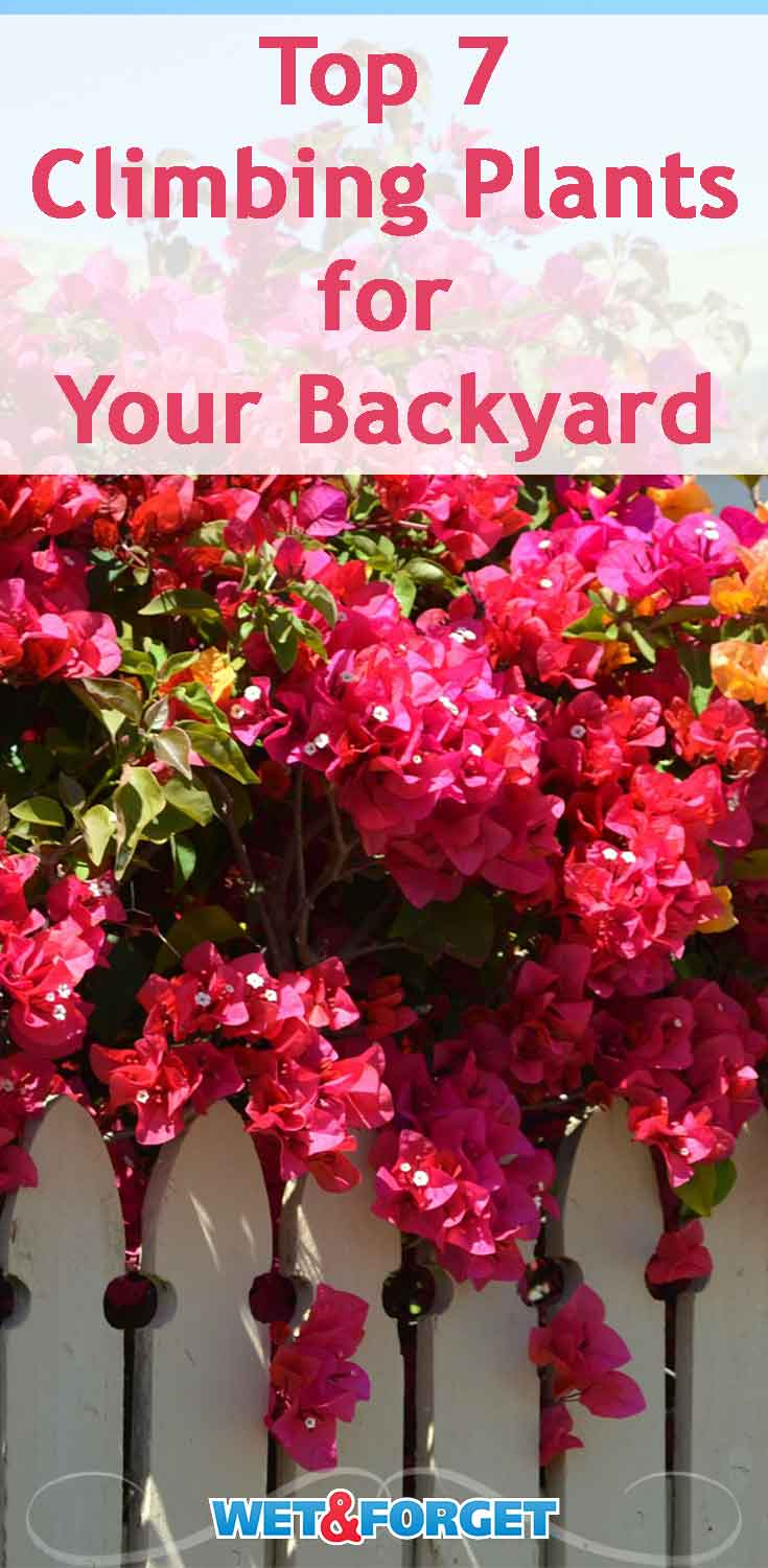 Grow these bright climbing plants in your backyard for a beautiful spring!