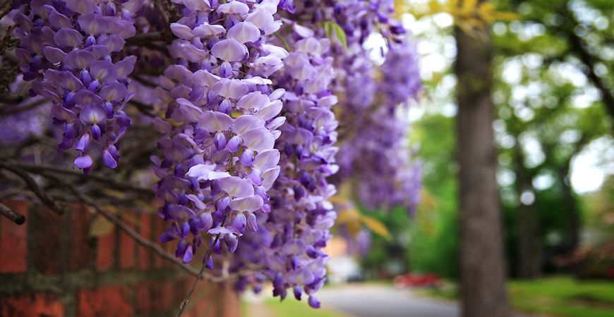 growing wisteria