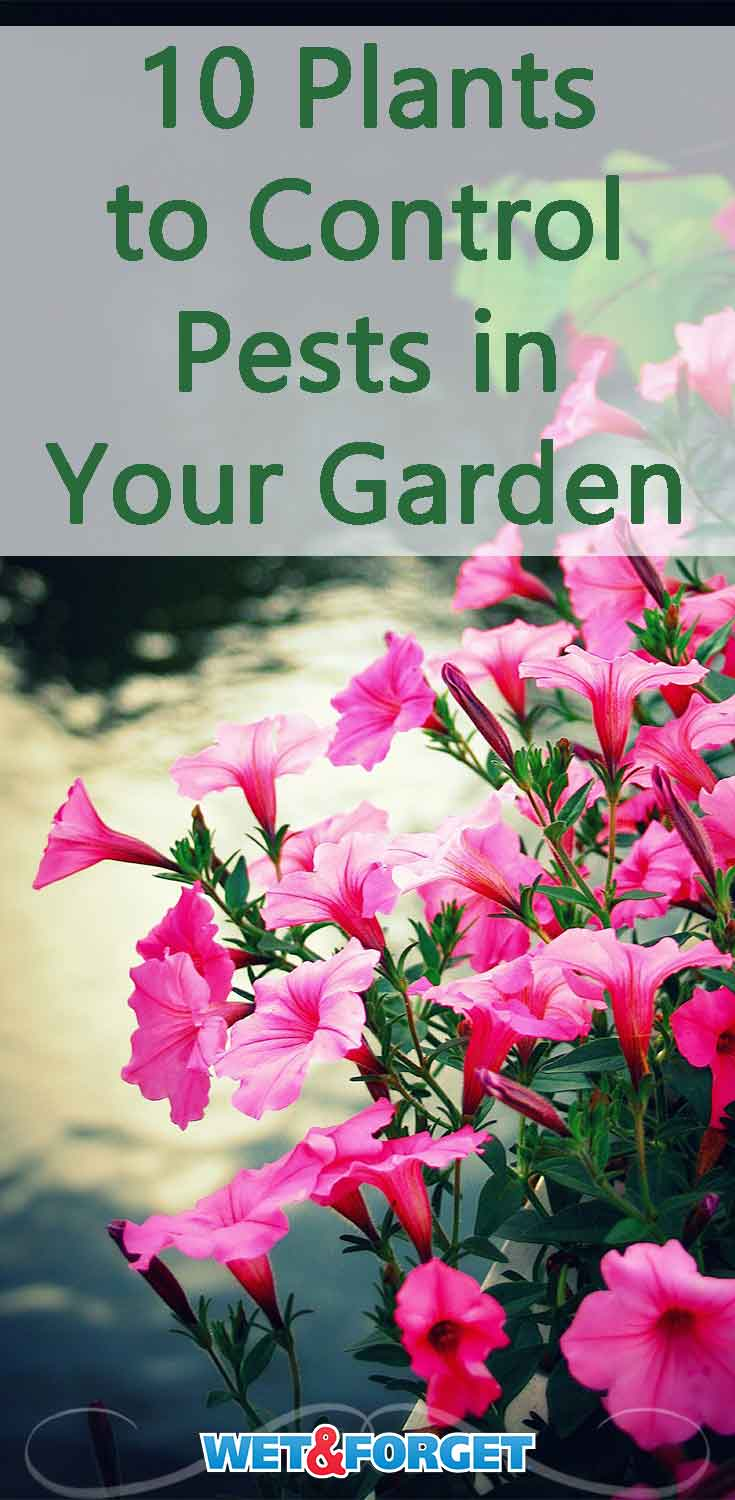 Keep pests out of your garden with these pest repelling plants!