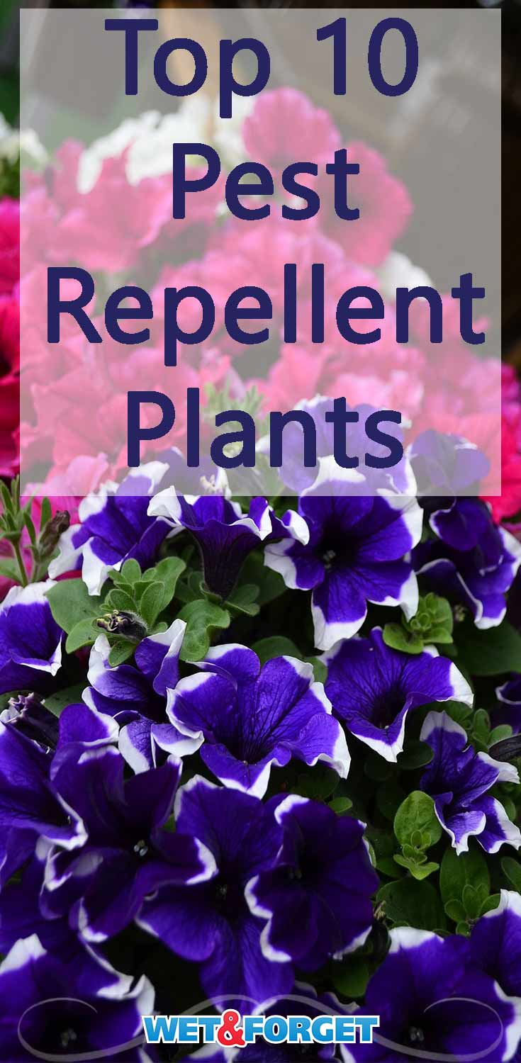 Drive bugs away from your garden and yard with these top pest repellent plants!