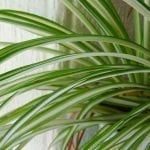 Top Tips for Taking Care of your Spider Plant