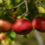 8 Simple Apple Picking Tips