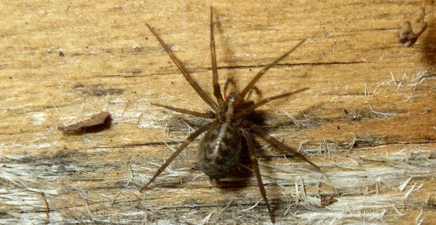 domestic-house-spider