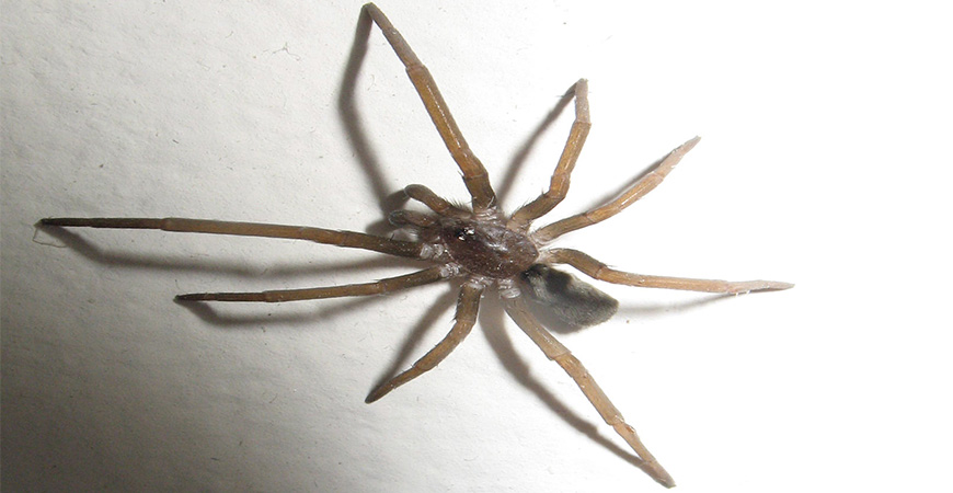 southern-house-spider