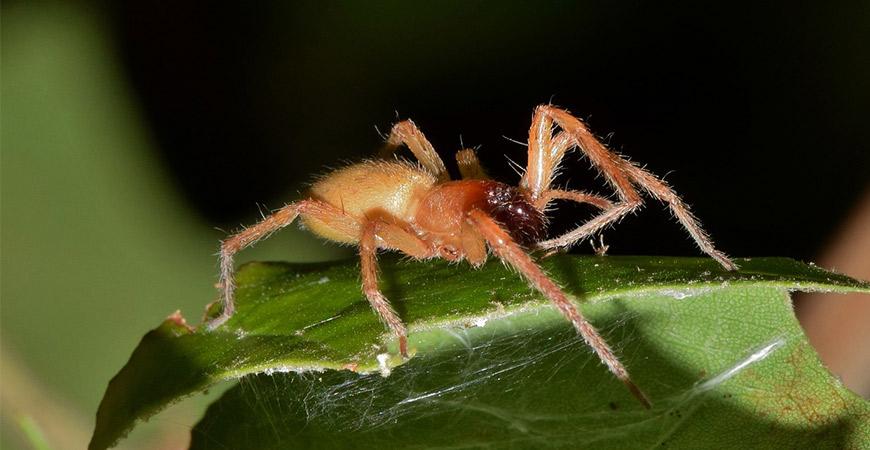 yellow-sac-spider