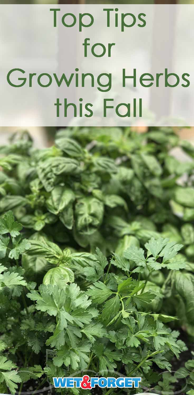Planning on growing herbs this fall? Follow these tips to make sure your herb garden is healthy and bountiful.