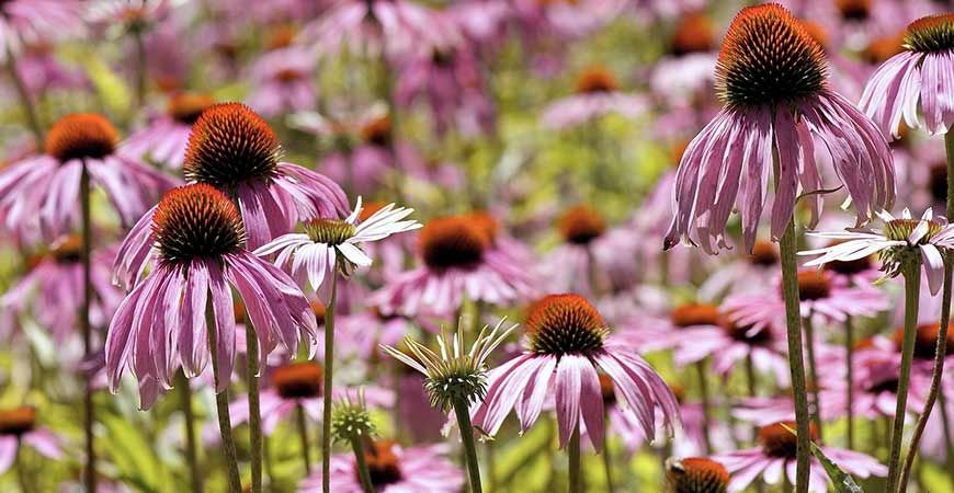 Planting purple coneflower in your garden is the perfect way to attract new birds.