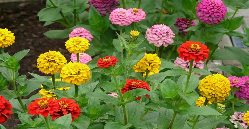 Zinnia come in a wide variety of colors.