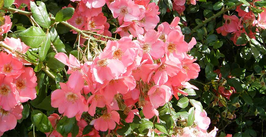 Pink landscape rose bushes compliment a small garden very well.