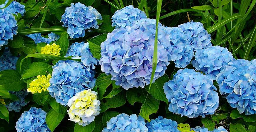 Hydrangeas are the only flower that can change colors while growing due to gardening techniques.