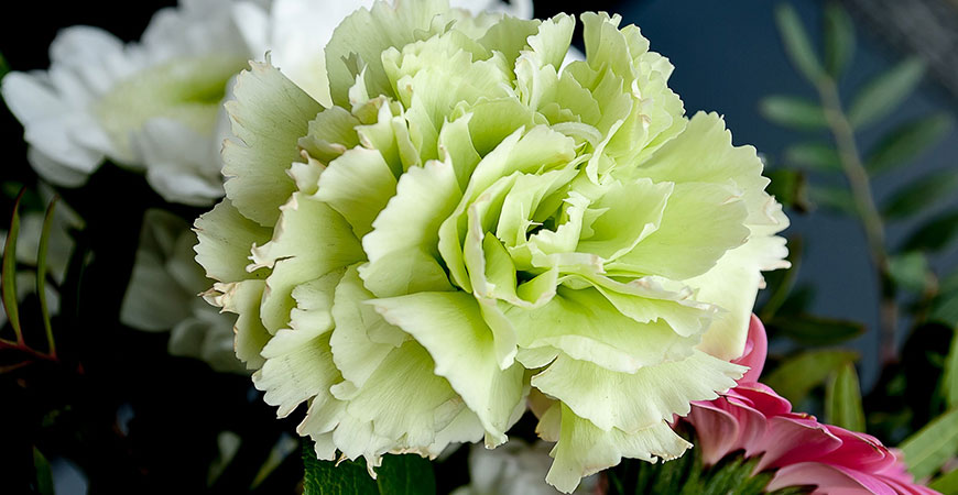 A carnations color can be changed artificially.