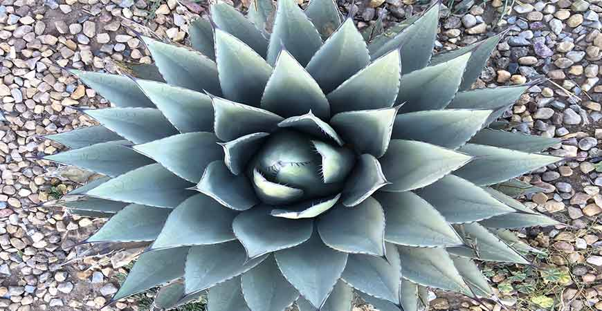 Agave plants are simple and easy succulents to grow.