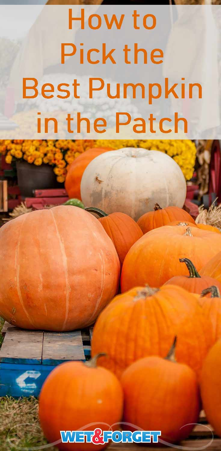Cool fall weather means it's time for pumpkin picking! Make sure you pick the best pumpkin in the patch with our clever tips.