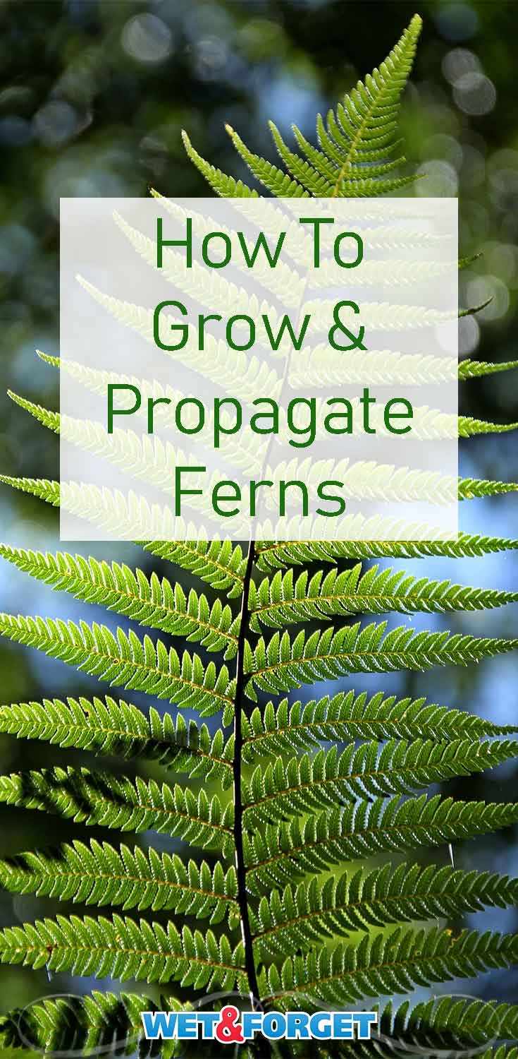 Learn how to grow, care for and propagate ferns with our guide!