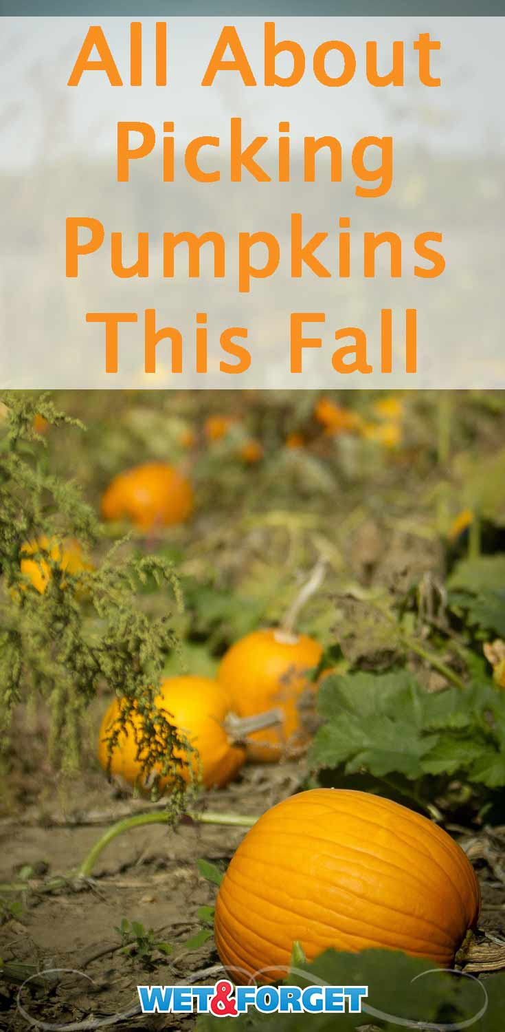 Learn about the different types of pumpkins and how to tell if a pumpkin is ready to be picked in our guide! Bonus: Find out how to preserve your carved pumpkins for a few weeks!