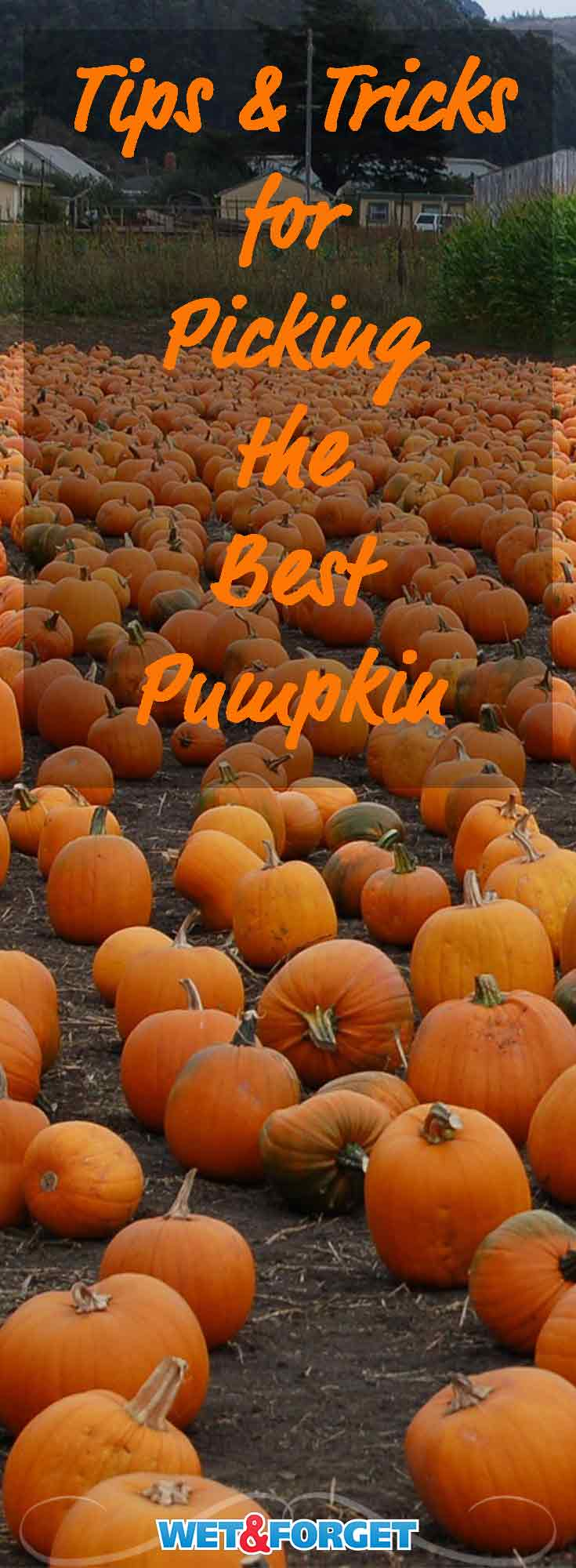 Last minute pumpkin picking can be difficult. Use our guide to help weave through the pumpkin patch to find the best pumpkin!