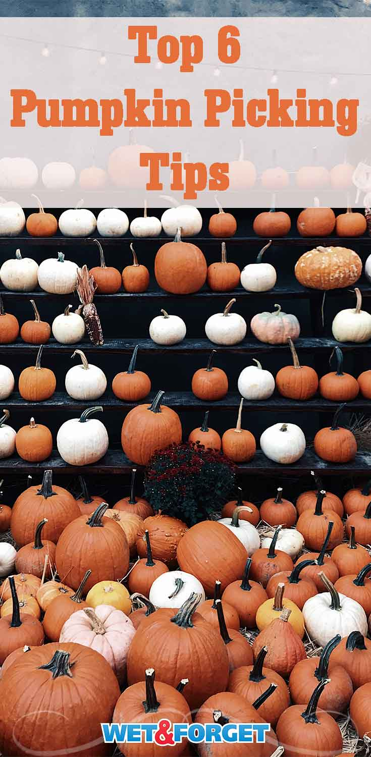 Learn how to pick the best pumpkin in the patch with these helpful tips!