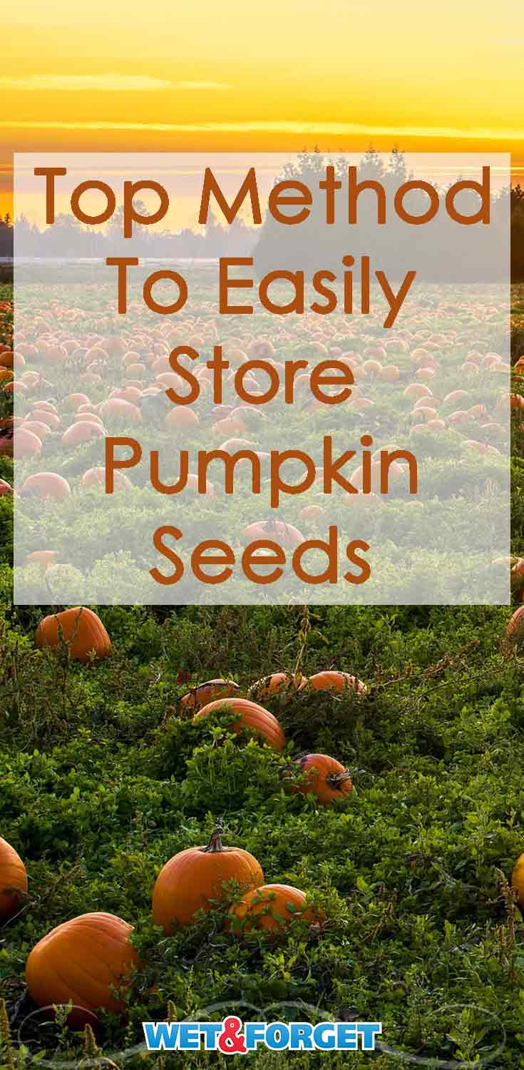 Have extra pumpkin seeds this year? Store them for planting next year with this easy method.