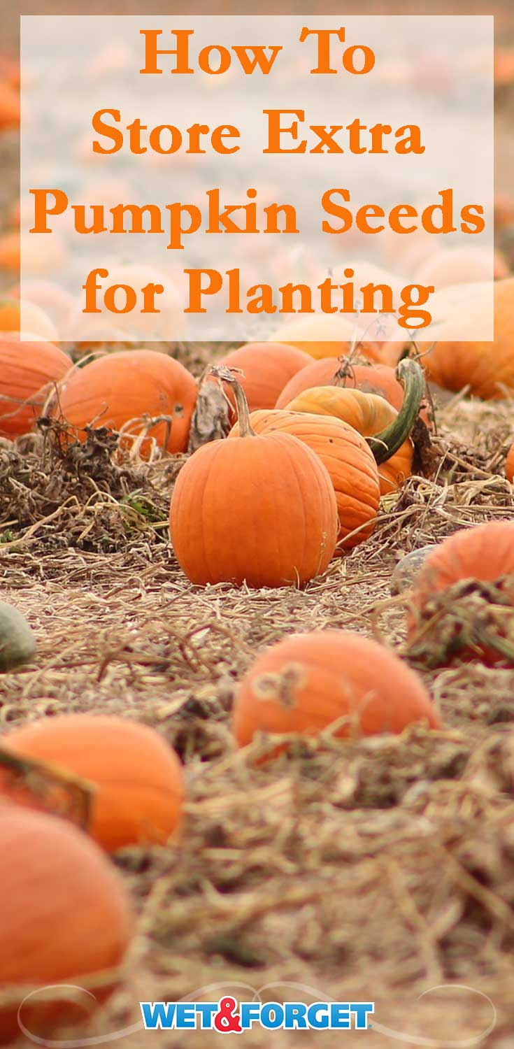 Do you have leftover pumpkin seeds from carving pumpkins? Follow our tips to store the seeds for planting next year!
