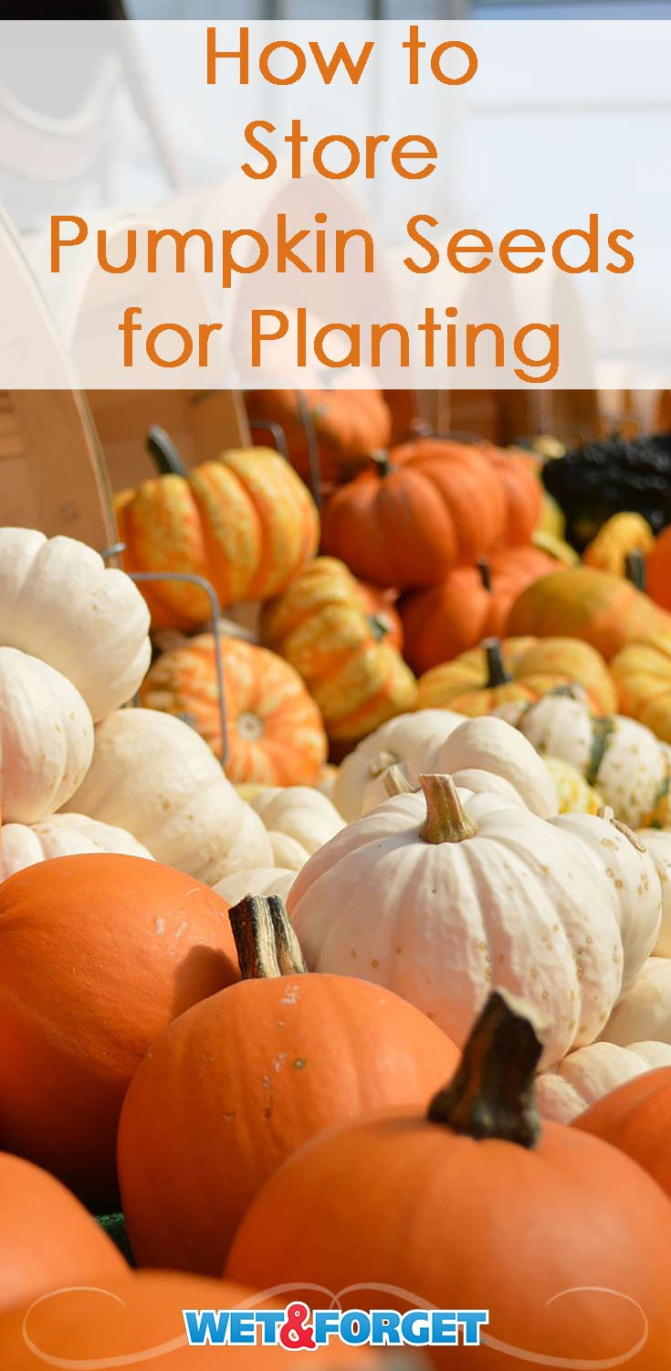 Now that fall has arrived, pumpkin season is here! Discover how to store pumpkin seeds for planting with our guide.