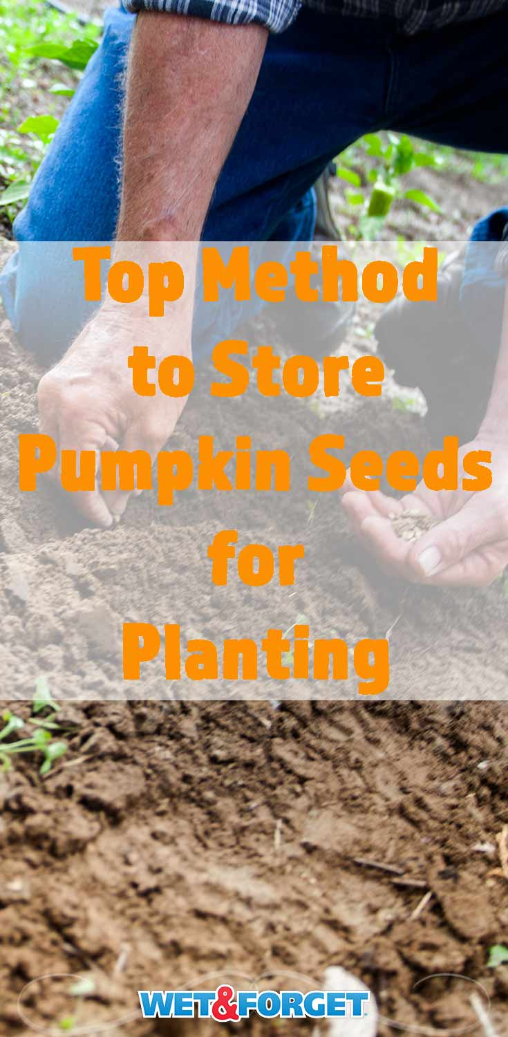 Discover how to store pumpkin seeds for planting with our step-by-step guide!