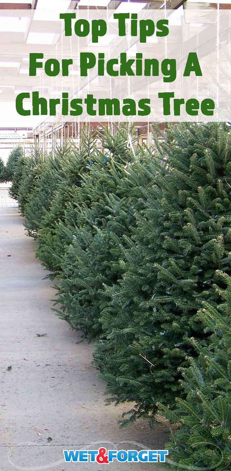 Follow these tips to pick out the best Christmas tree for your home!