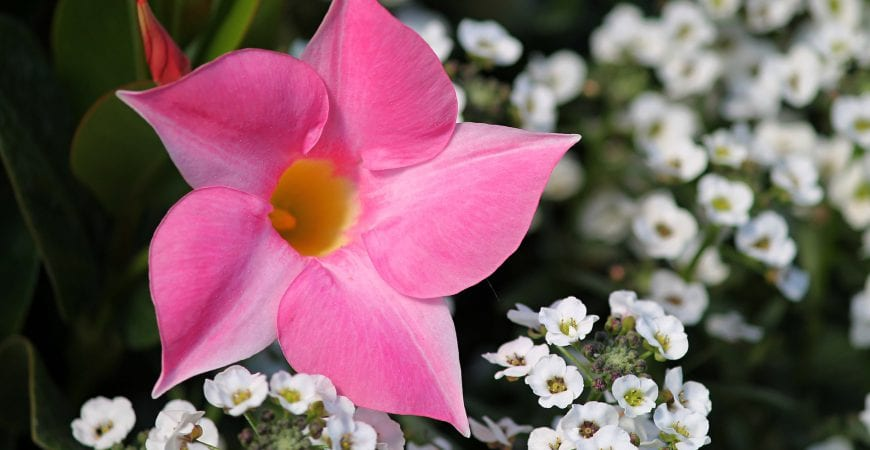 Ask wet forget beautiful mandevilla colors for your garden plus beautiful mandevilla colors for your garden plus how tos mightylinksfo