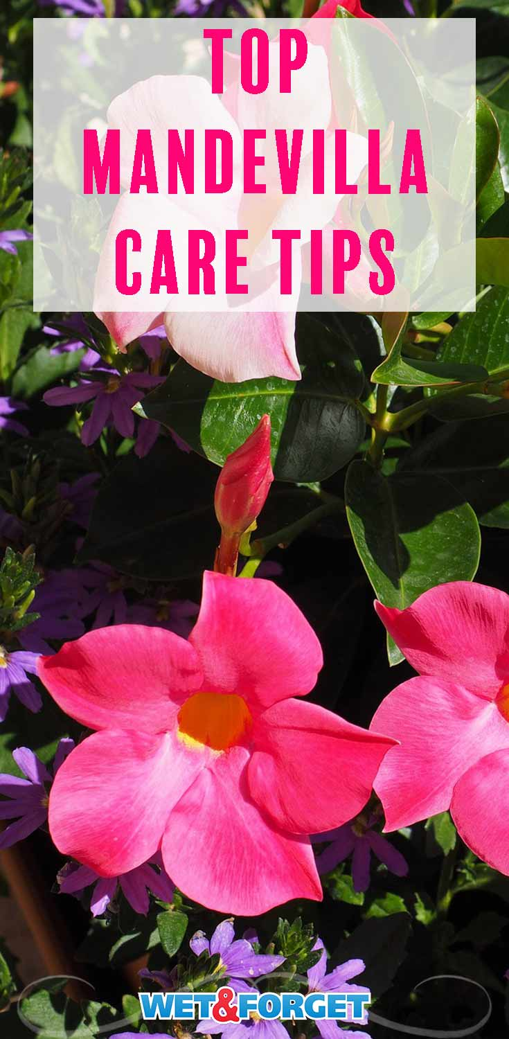 Learn how to grow and take care of mandevilla with these quick tips!