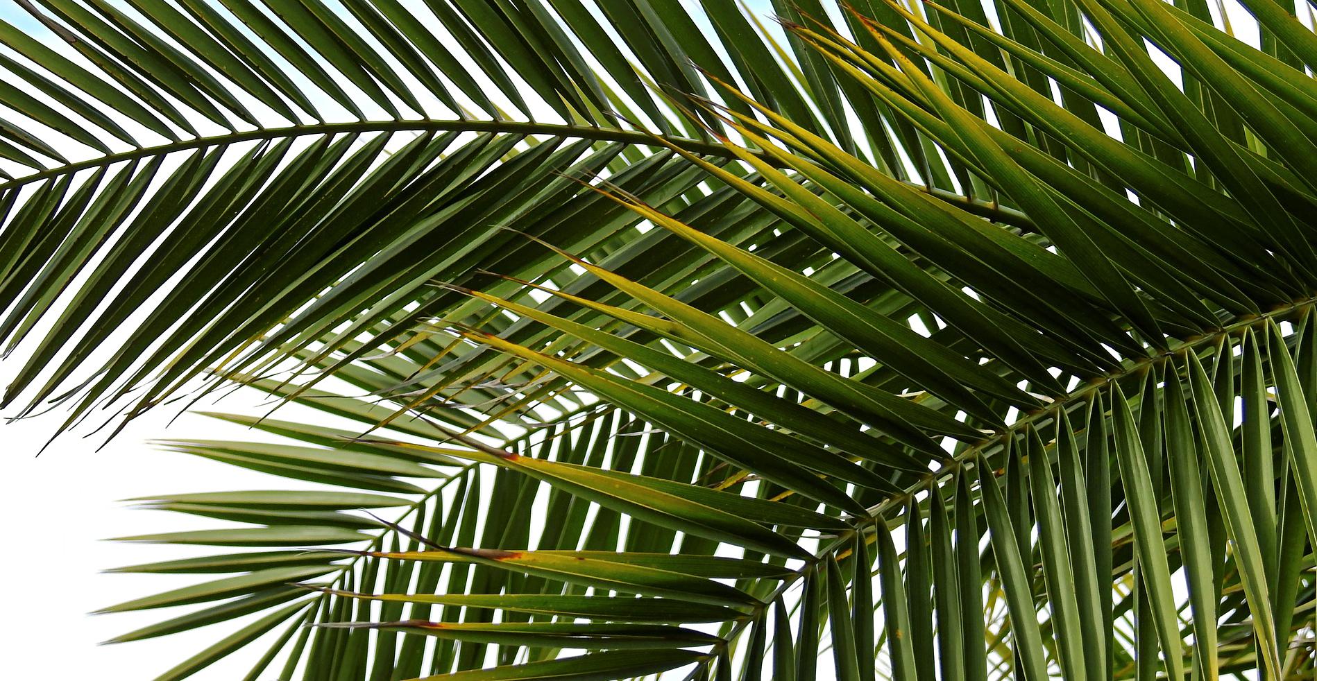 growing indoor palm plants