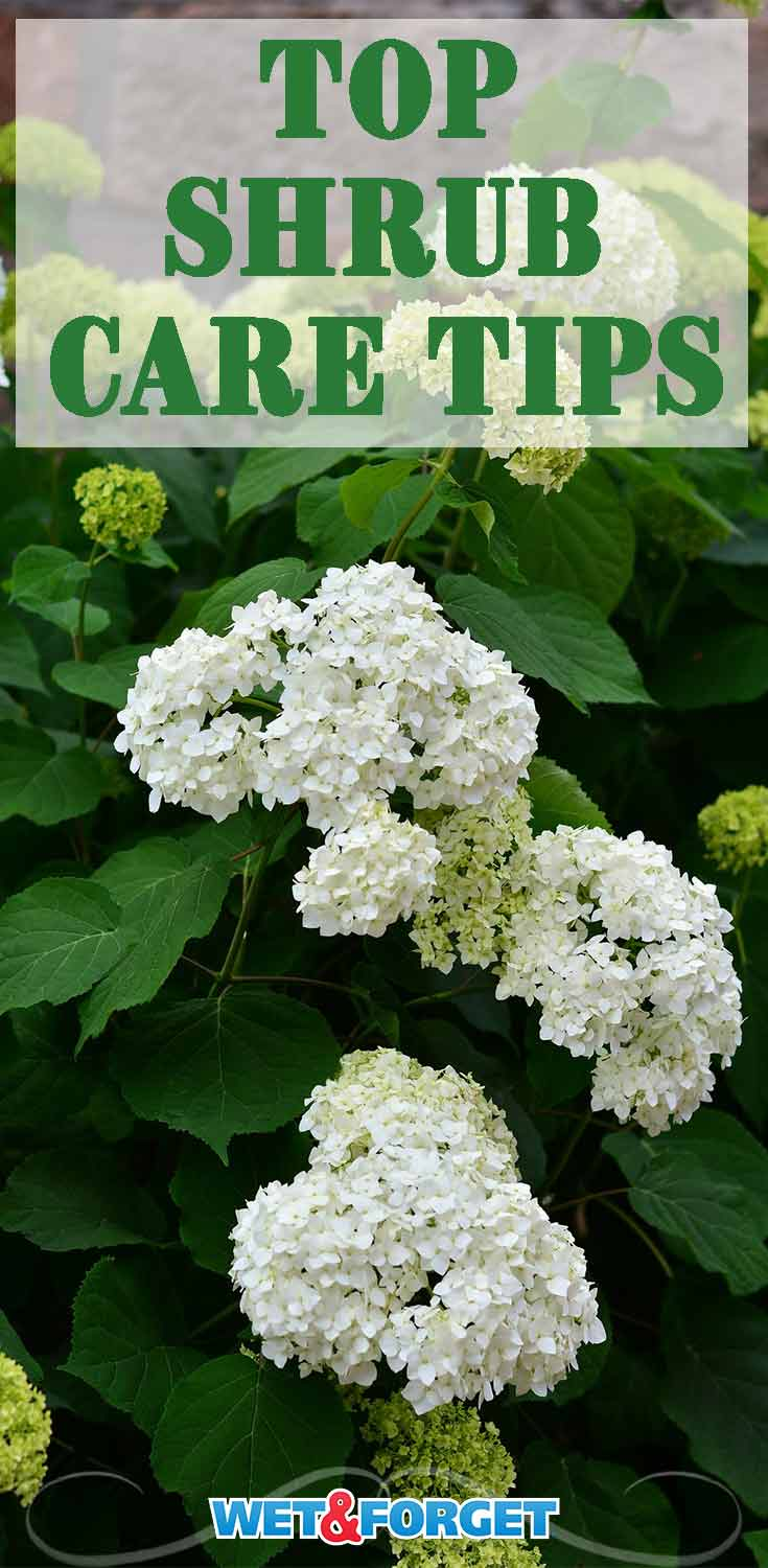 Shrubs are great for all seasons! From flowering shrubs to berry shrubs, the options for your yard are endless. Learn how to take care of your shrubs with these helpful tips!
