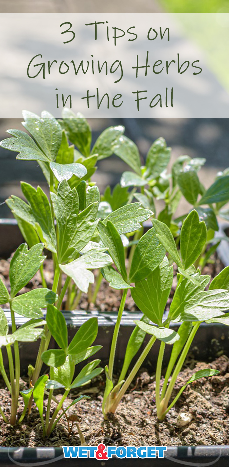 Check out these 3 tips to successfully growing Fall herbs for your yummy, Fall meals.