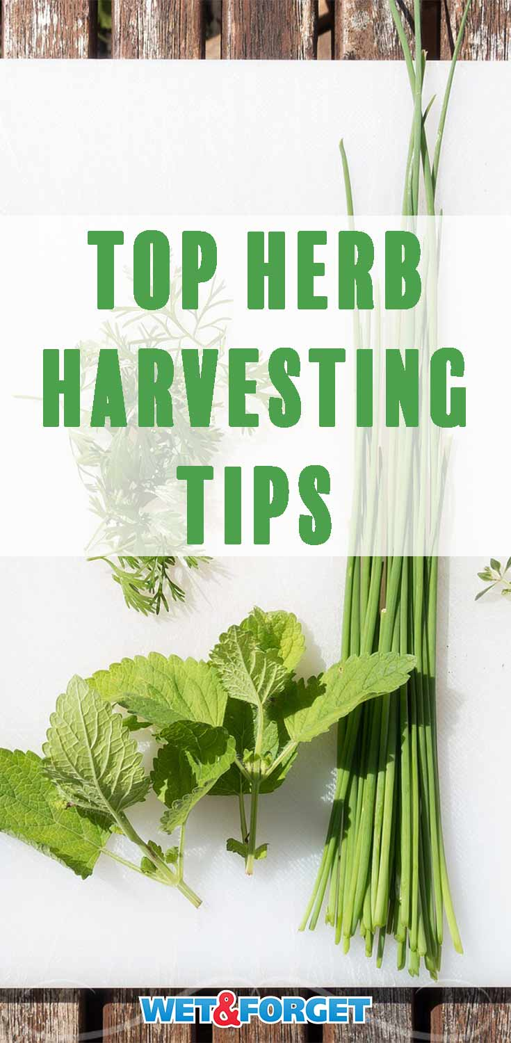 Learn how and when to harvest a variety of herbs using these quick tips and tricks!