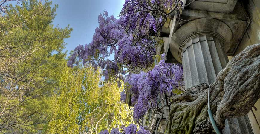 Be careful not to mix up Chinese Wisteria with North American Wisteria