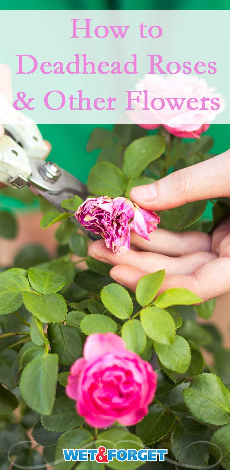 Are a few of your flowers faded in your garden? Discover how to deadhead roses and a variety of other common garden flowers!