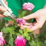 Deadheading Roses and Garden Flowers – Tips and How-tos
