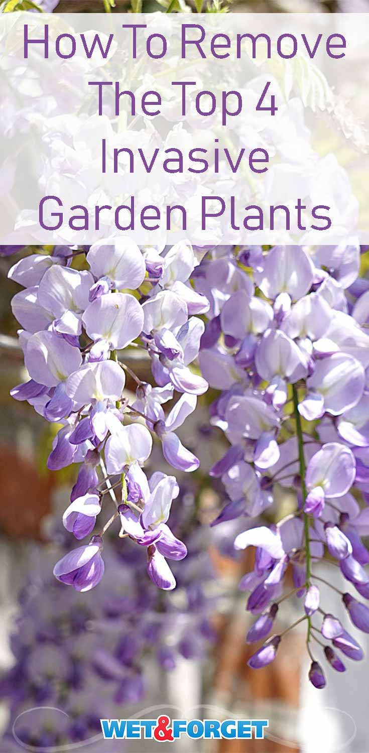 Discover how to remove the most common and stubborn invasive plants from your garden!