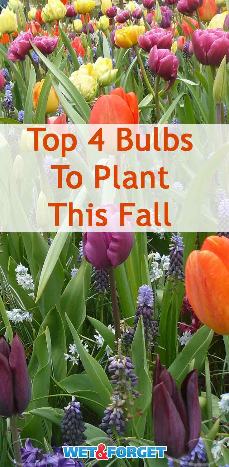 Plant these 4 types of bulbs this fall for a beautiful spring!