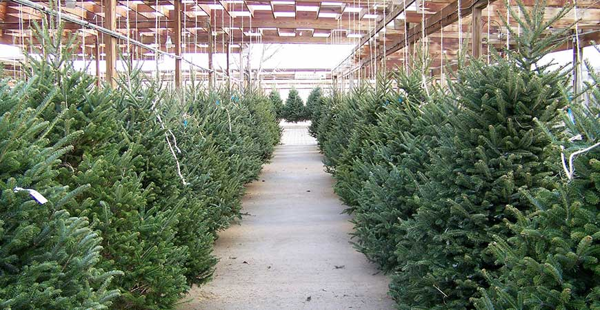 A large selection of fir tree