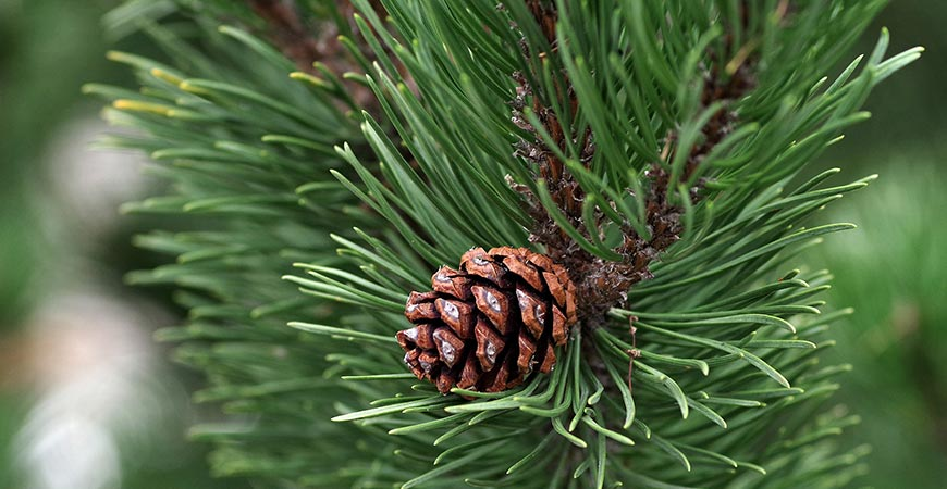 Up close pine tree branch