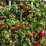 Garden Trellis Ideas, Types, and DIYs for the Home Gardener
